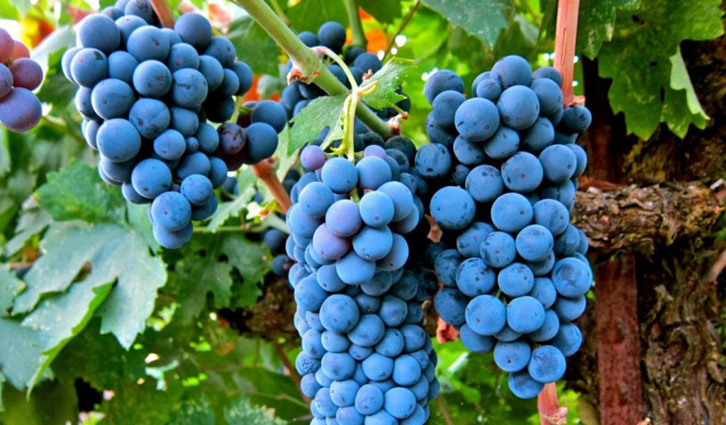In Vino Frances Veritas - Cepas del sur de Francia
