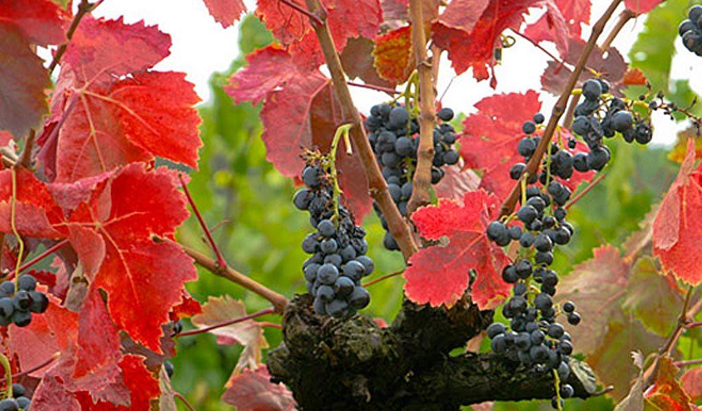 In Vino Frances Veritas - Carignan
