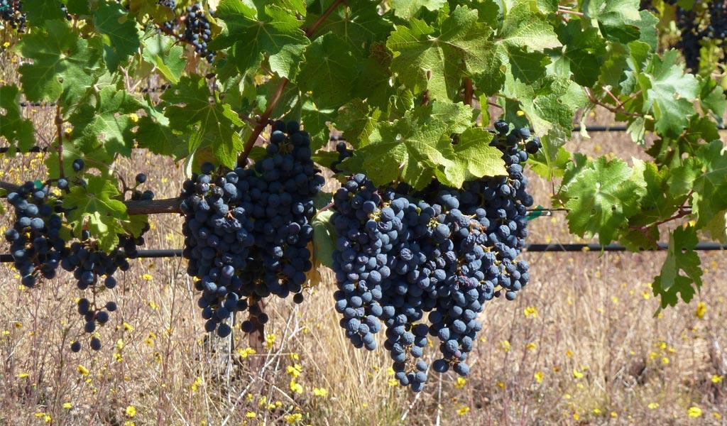 In Vino Frances Veritas - Tag Cabernet Sauvignon