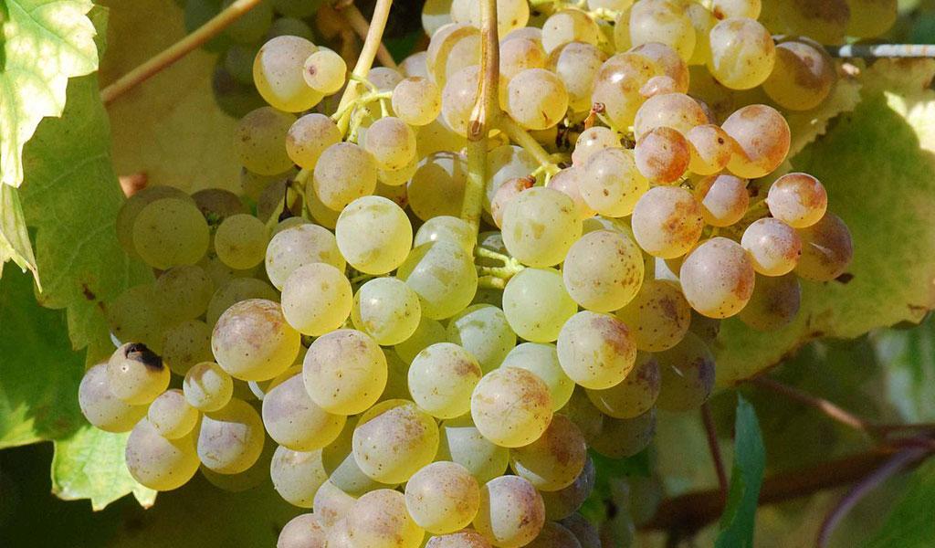 In Vino Frances Veritas - Tag Colombard