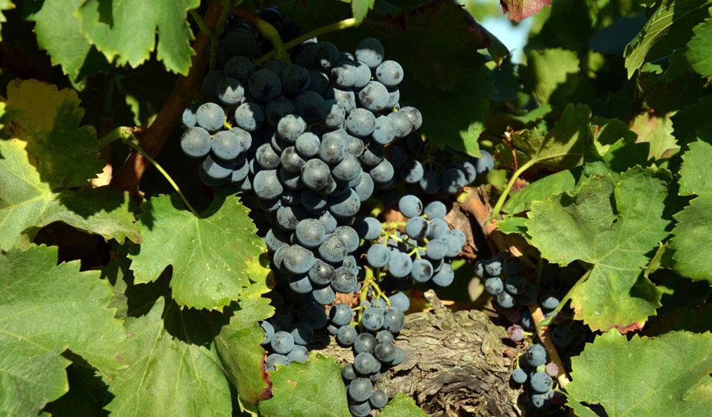 In Vino Frances Veritas - Tag Garnacha