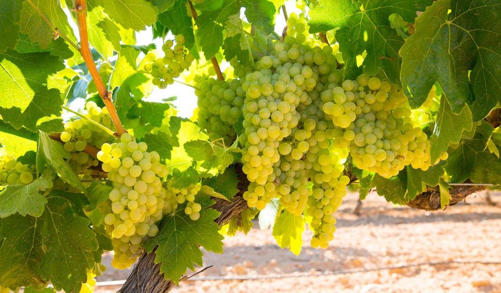 In Vino Frances Veritas - Tag Chardonnay