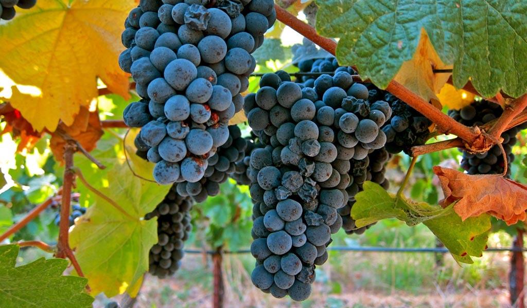 In Vino Frances Veritas - Tag Pinot Meunier
