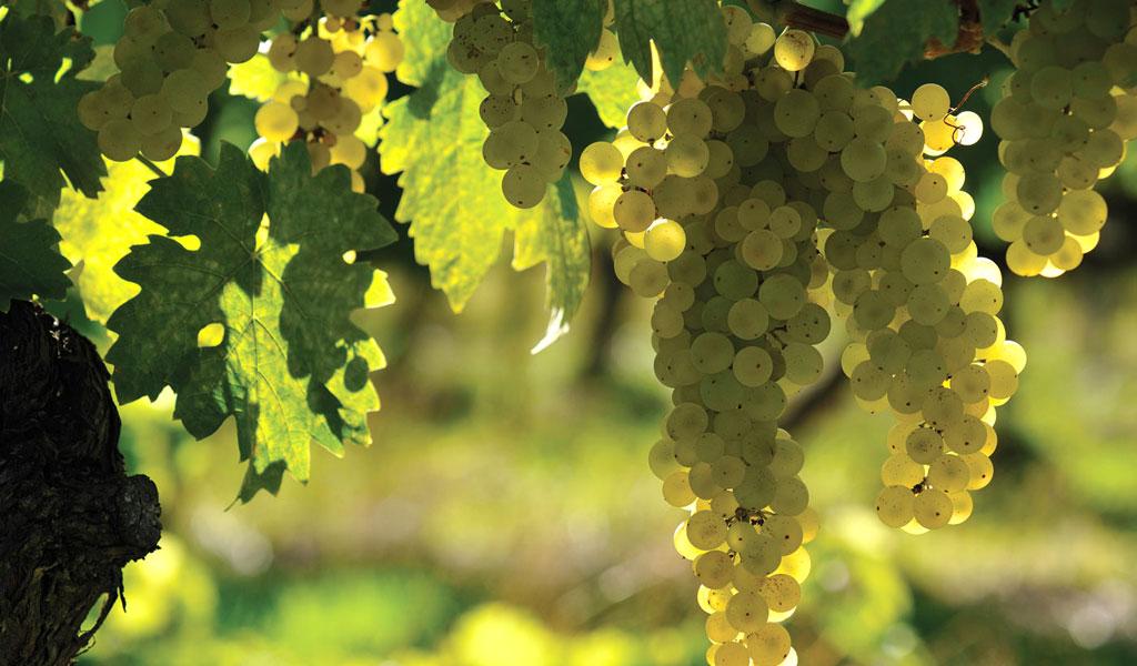 In Vino Frances Veritas - Tag Ugni Blanco