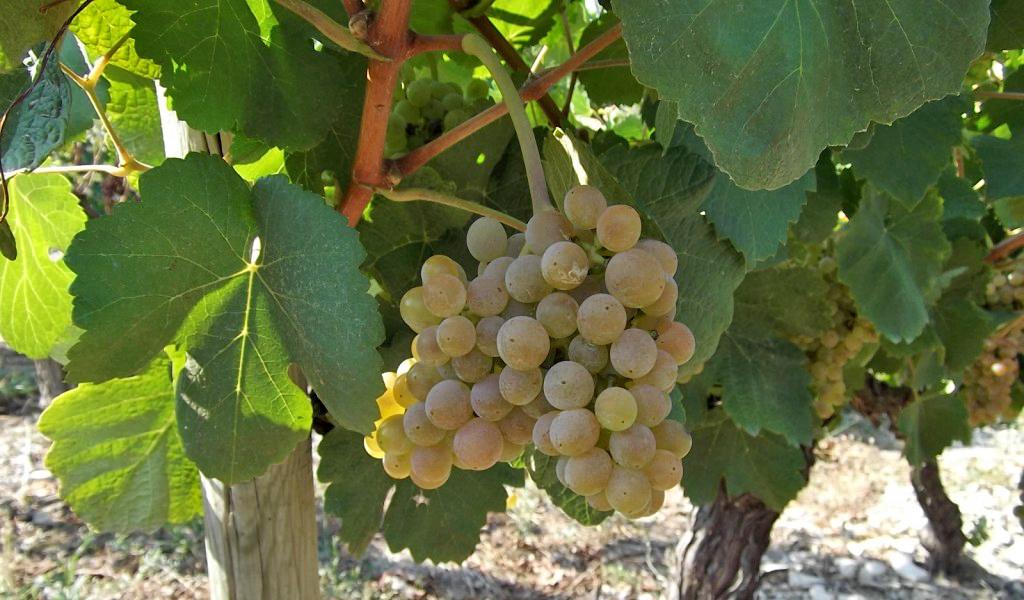 In Vino Frances Veritas - Tag Bourboulenc