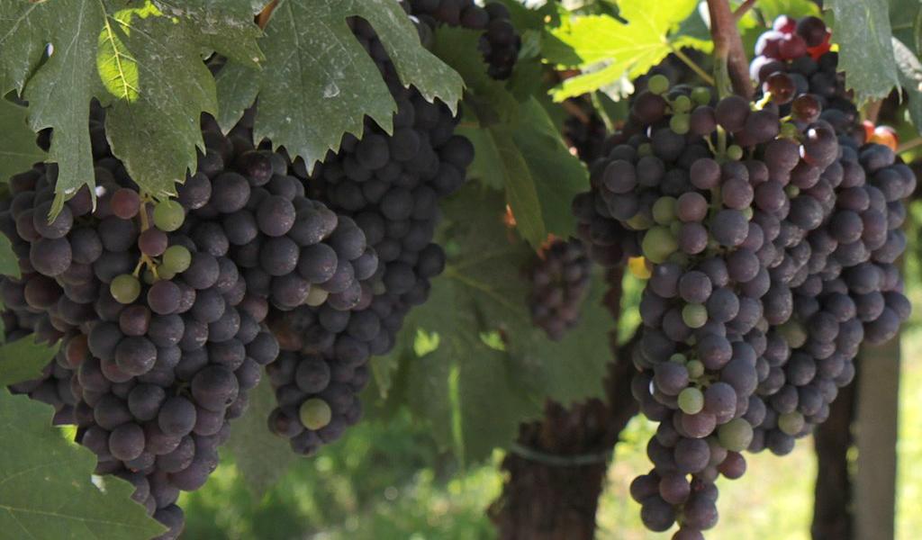 In Vino Frances Veritas - Tag Corvinone