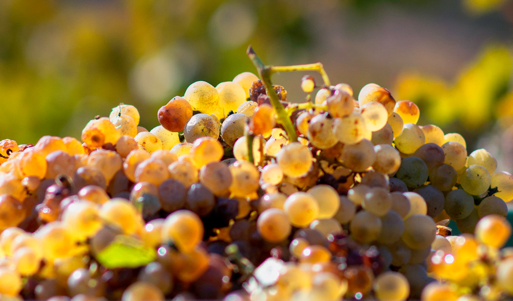 In Vino Frances Veritas - Tag Muscadelle
