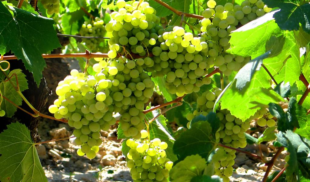 In Vino Frances Veritas - Tag Pecorino