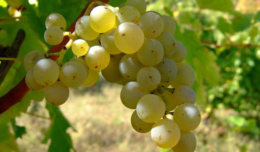 In Vino Frances Veritas - Tag Sauvignon Blanc