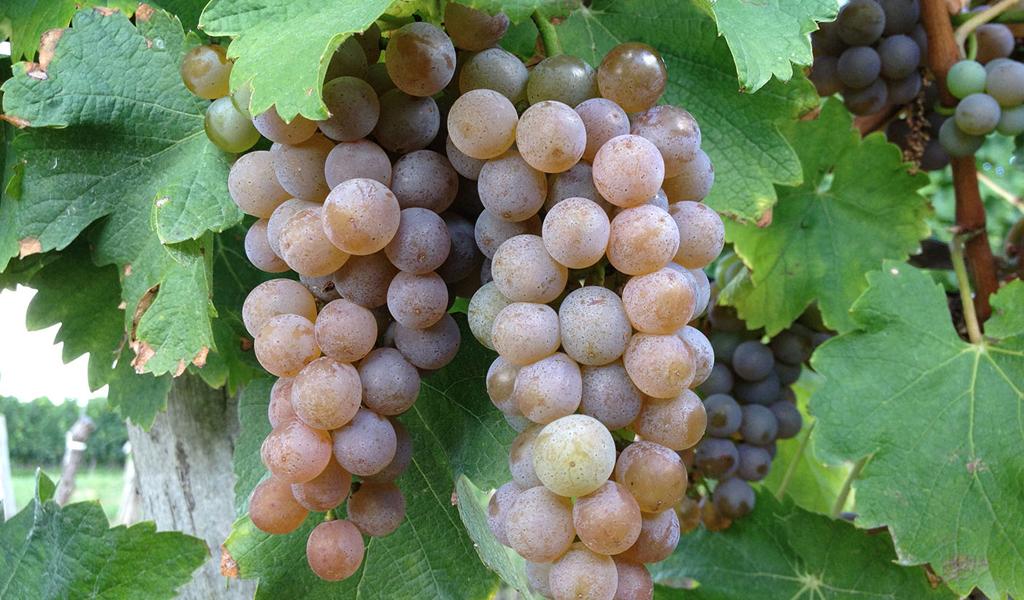 In Vino Frances Veritas - Tag Sauvignon Gris
