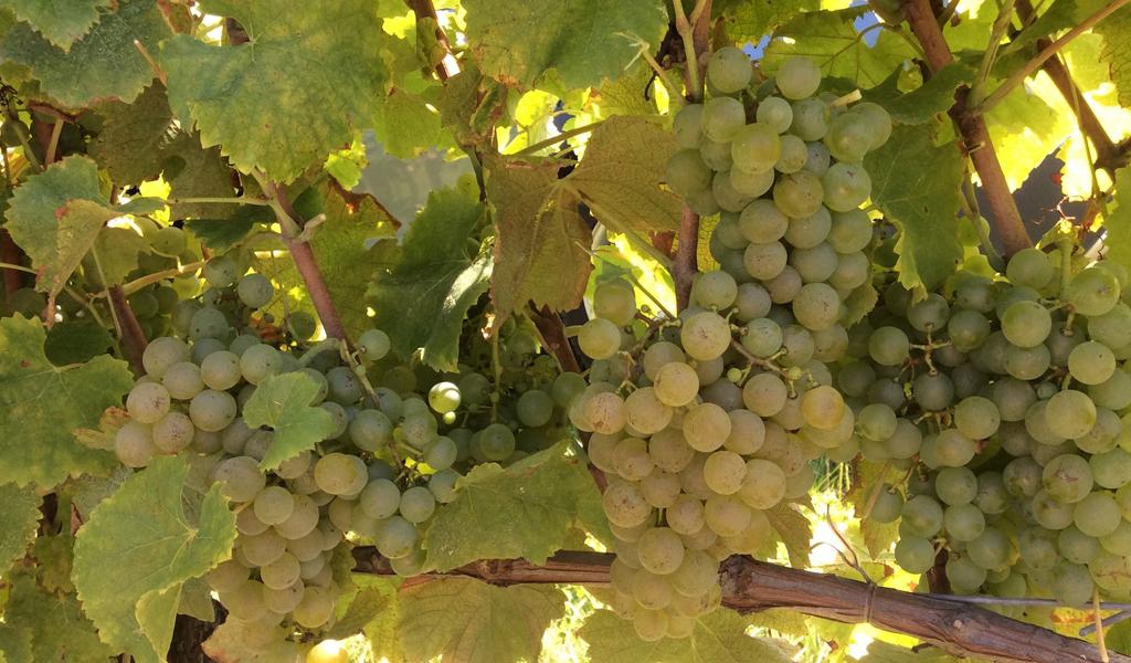 In Vino Frances Veritas - Tag Semillon
