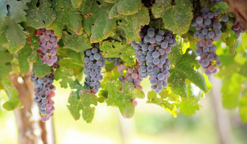 Para los viñedos de Burdeos, la ola de calor «es mágica»